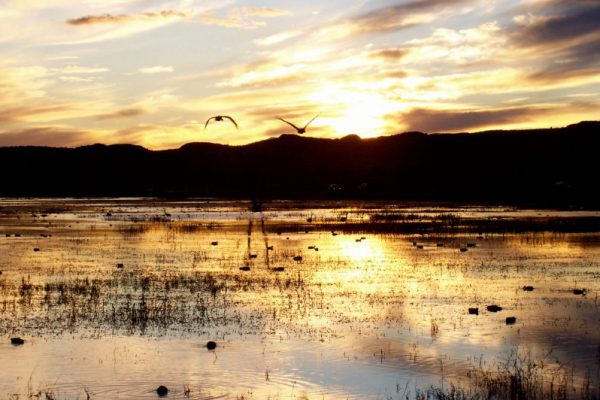 Birds are floating on the surface of a shallow lake with emerging vegetation. Two birds are flying toward the camera, one has it's wings pointing up and the other one's wings are pointing down. The golden light of sunset is reflecting off of the water.
