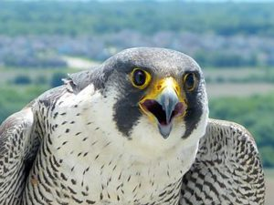 Bird with a hooked beak, dark gray head ad white underbelly flecked with gray looks directly into a camera close up. It's mouth is slightly open.