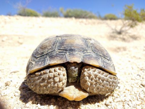 Close up, front view of adult gopherus agassizii tortoise with head and front feet tucked in, its natural habitat protected by compliance monitoring.