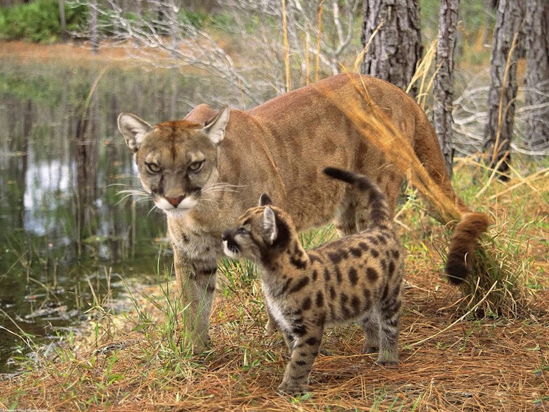 A small spotted mountain lion kitten is walking with its mother in a wooded area beside a pond.