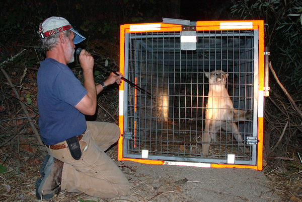 A man wearing dark blue t-shirt and tan pants is kneeling in front a mountain lion that has been trapped in a cage. It is night and outdoors. The man has a long tube raised to his mouth that he is pointing at the lion.