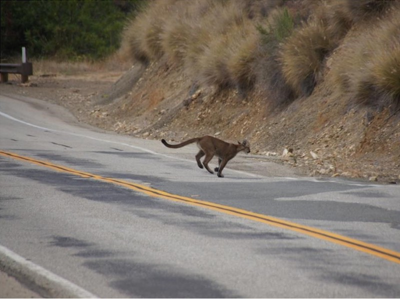 An adult mountain lion is mid-stride while nearly finished crossing a two-lane road with double yellow centerline. The road is bordered by a steep hillside covered with large mounds of grasses.
