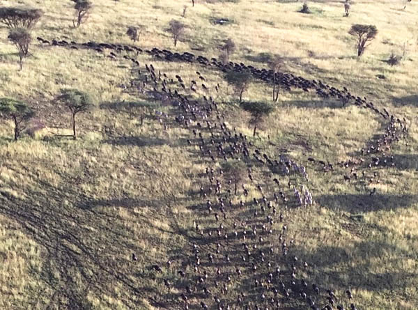 "Aerial view of hundreds of wildebeests during wildlife tracking. The herd runs on flat, dry grass and forms a letter ""P"" as animals merge at top left of image."