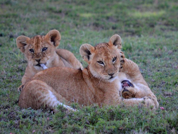 Three lion cubs lie in grass. One bites tail of second lying with mouth open on its back, while that one paws third cub's cheek