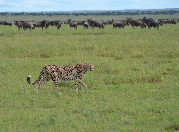 A herd of wildebeest is grazing in green grass. A large gold cat with black spots is walking in front of the herd, looking toward the camera. The line of wildebeests closest to the cheetah are looking at it.