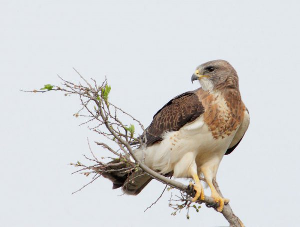 Image of Swainson's Hawk sitting atop a tree snag on Peterson Mitigation Bank