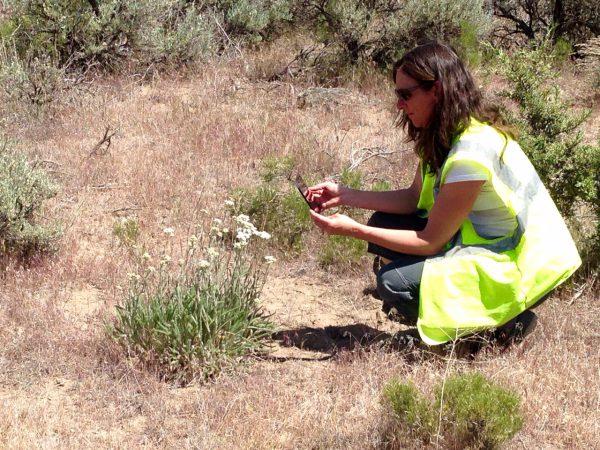 female botanist using Wildnote app on phone to document vegetation on transmission line projet.