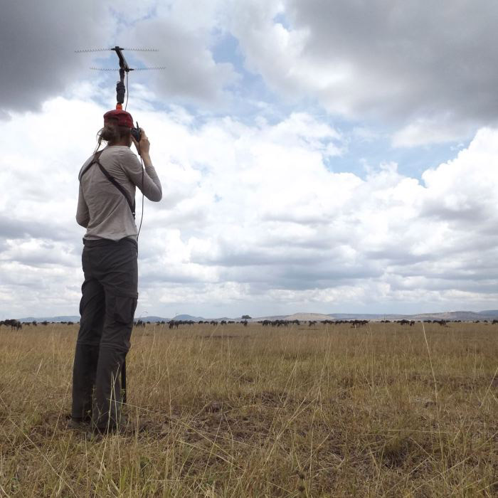 Researcher Lacey Huey holds a radio collar receiving unit and observes wildebeest herd from a distance.