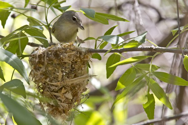 bell's vireo adult bird resting on the edge of its nest
