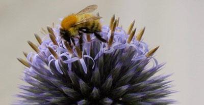 bee pollinating allium