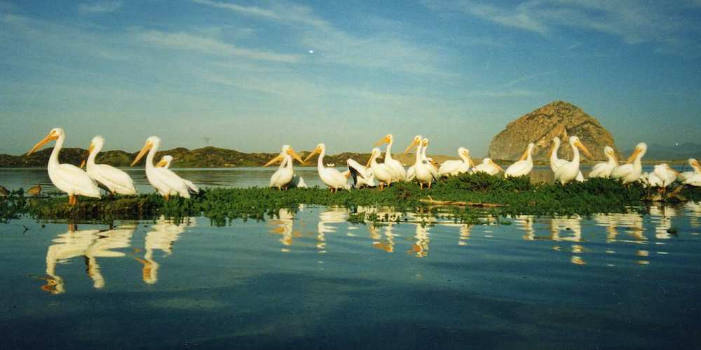 white-pelicans-morro-bay-wetlands